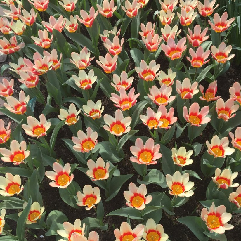 Ancilla is one of the Kaufmanniana tulips that are commonly called waterlily tulips because the petal-like tepals open out horizontally in full sun, giving the flowers a waterlily-like appearance.