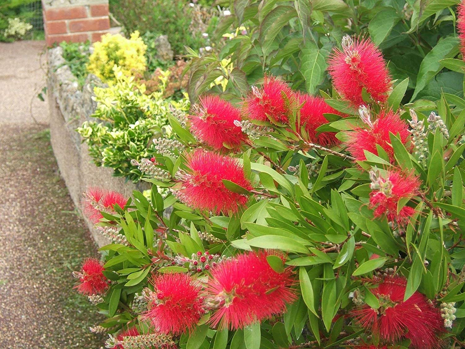 Bottle brush aren't picky about the soil type as long as it is well drained. If the soil is very poor, enrich with compost at planting time.