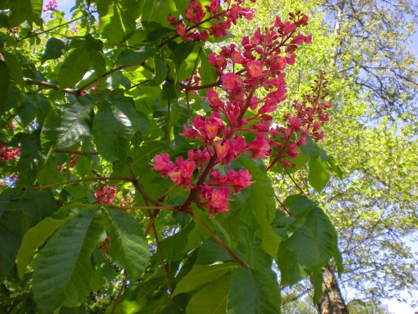 Red Buckeye is a small, deciduous tree or shrub that may grow 15 to 25 feet tall. It is native to coastal and Piedmont areas in NC.