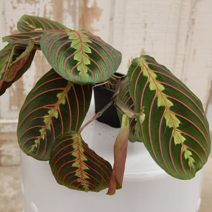 Fertilize your prayer plant every two weeks from early spring through fall. Dilute a balanced, water-soluble houseplant fertilizer (10-10-10) to half strength. If you use too little fertilizer, your plant will grow slowly or hardly at all.
