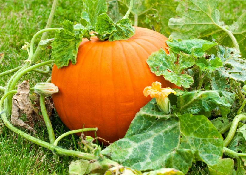 Pumpkins do best when the seeds are planted directly in the ground. Wait until the plant soil is 70ºF or more before sowing seeds outdoors. If your growing season is very short, seed indoors in peat pots about 2 to 4 weeks before last spring frost. Be sure to harden off before transplanting.
