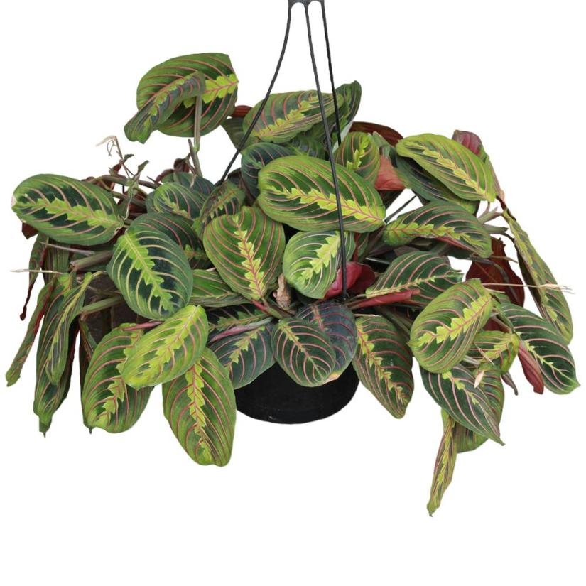 Maranta Red Prayer Plant has soft dark green leaves with feathered, painterly-like centers of light green and red veins.