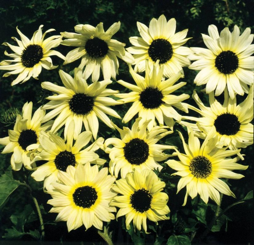 Italian White will produce pale yellow, almost white blooms atop stems that raise 5 to 7 feet tall.
