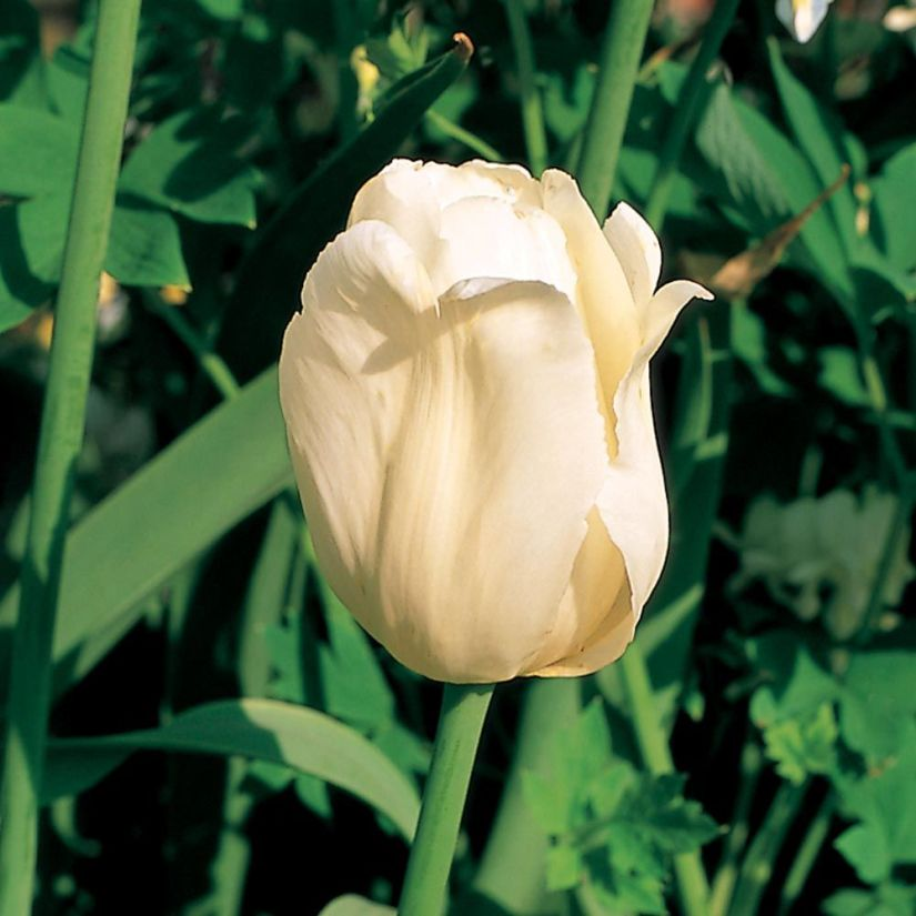 Ivory floradale tulip is a gorgeous creamy color, sometimes blooming with a slight pink hue. These blooms are borne on tall, sturdy stems making it excellent for fresh floral bouquets.