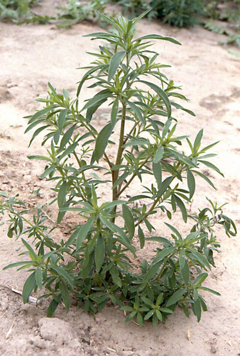 Young stems are pubescent, but older stems near the base are usually glabrous. Kochia often breaks off at the base of the central stem and becomes a tumbleweed that is driven about by the wind, in this manner distributing its seeds.