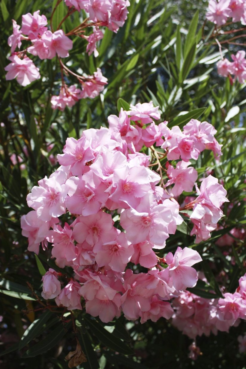 If you are growing container oleanders, the plants should be fertilized more frequently, as the nutrients leach out of the pots.
