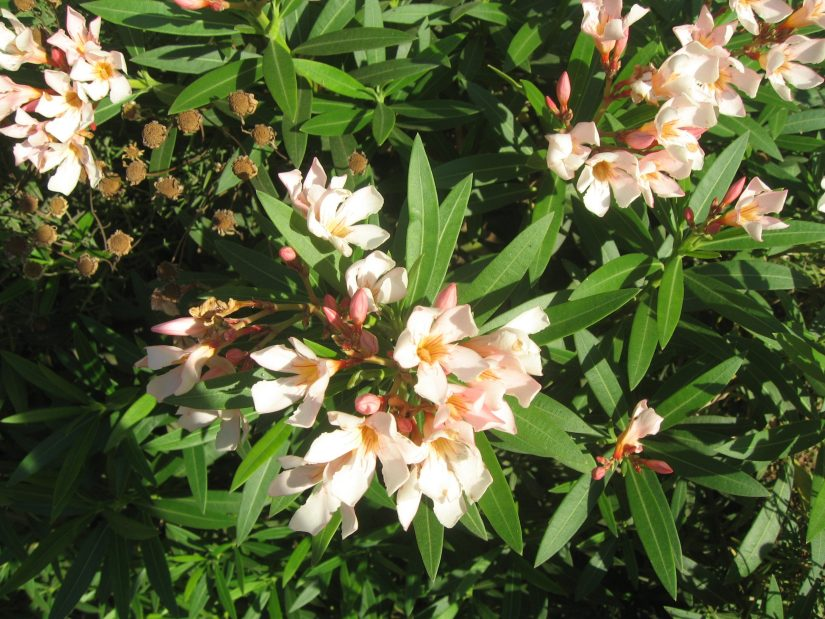 Oleander petite salmon is a compact, dwarf evergreen shrub which produces abundant clusters of five-petaled funnel-shaped, salmon pink flowers.