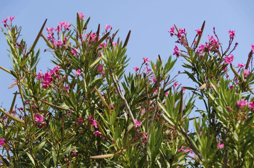 Oleander is a dense, fast-growing evergreen shrub that has been growing since ancient times and is native to North Africa and the eastern Mediterranean regions.