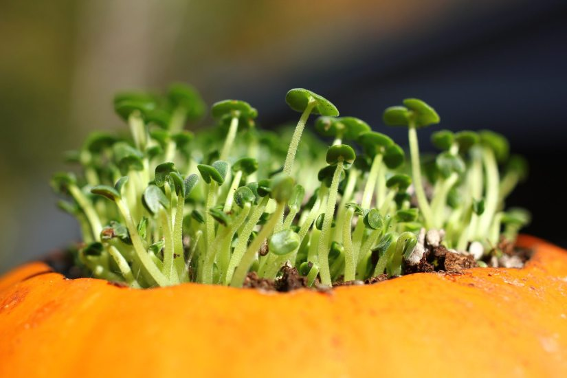 Plant the seeds 1 inch deep into the hills (4 to 5 seeds per hill). Space hills 4 to 8 feet apart. Your plants should germinate in less than a week with the right soil temperature (70 degrees F) and emerge in 5 to 10 days.