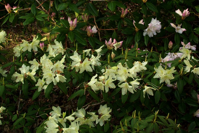 Rhododendron keiskei is a species of flowering plant in the heath family Ericaceae, native to Honshu, Kyushu and Shikoku in Japan. It is a low-growing, spreading evergreen shrub, reaching only 60 cm (24 in) tall by 1.85 m (6.1 ft) broad when mature.
