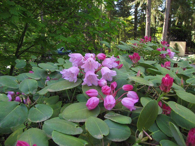 Rhododendron orbiculare, is a species of flowering plant in the heath family Ericaceae that is native to forests and slopes at an elevation of 1,400–3,500 m in northeastern Guangxi.