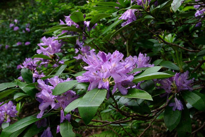 This species is a much-branched shrub to 1.2m with broadly elliptic, ovate brownish leaves. The flowers are broadly funnel-shaped and purple-yellow in colour.