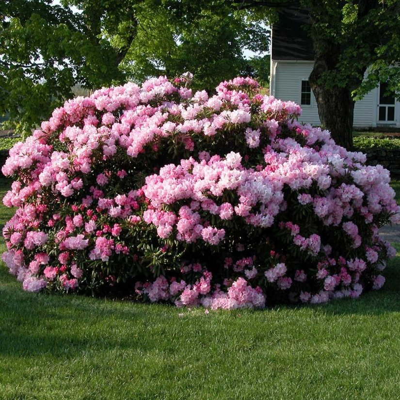 Rhododendron are a large family of deciduous or evergreen shrubs or small trees that are primarily cultivated for their attractive blossoms.