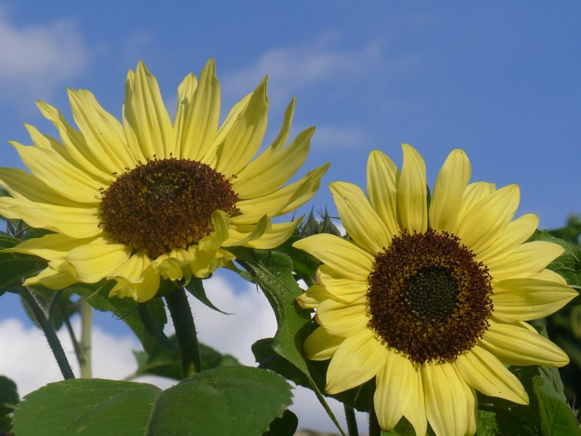 Helianthus is a genus comprising about 70 species of annual and perennial flowering plants in the daisy family Asteraceae.