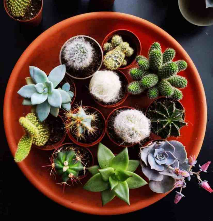 Unglazed ceramic pots are porous and most suitable for cactus since they are permeable to water and air. This allows for the healthy growth of the plant.