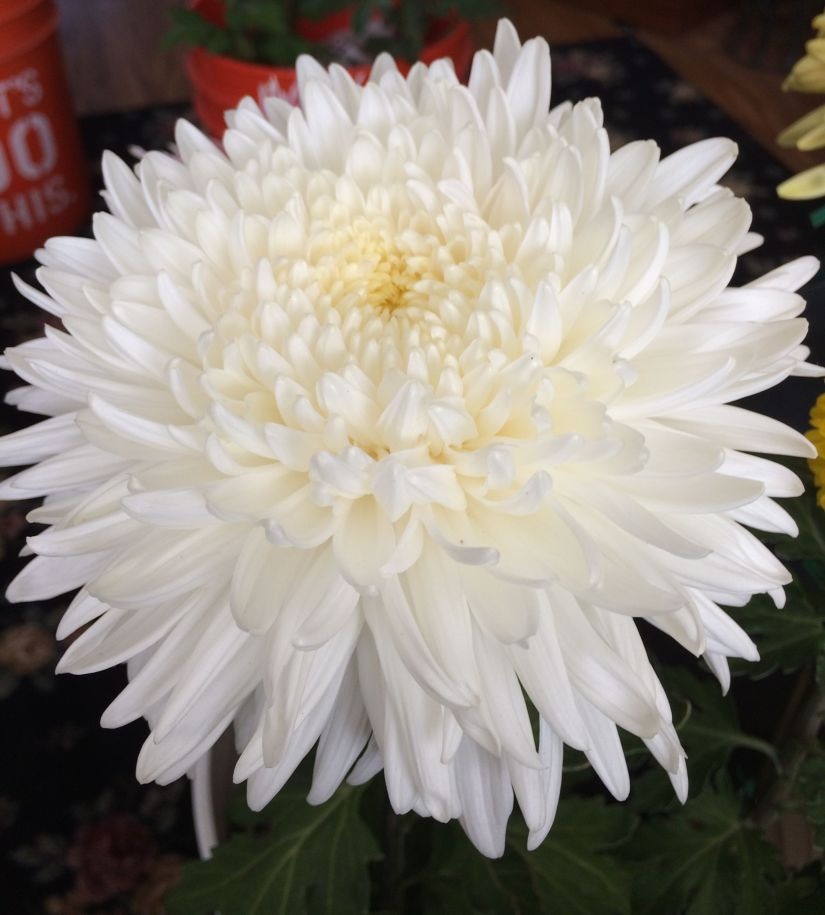 All of these varieties produce the most wonderful reflex blooms with showy and wavy outward facing petals.