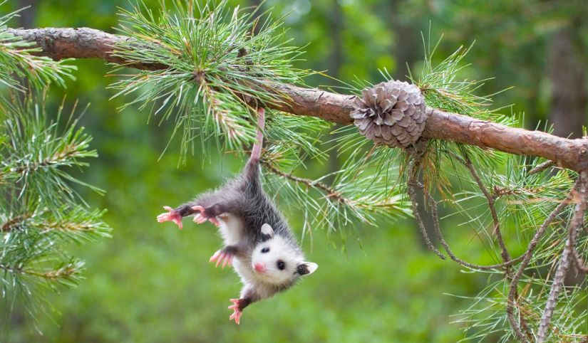 The best defense, however, is making the area less appealing to opossums. Overgrown trees and shrubs should be pruned. Brush piles and similar debris should be removed. Fallen fruit from trees should be kept clean.