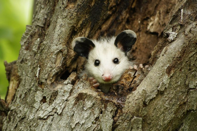 The opossum is the only marsupial, or pouched mammal, that is native to the United States. Much like kangaroos, opossums give birth to relatively undeveloped young that complete development inside the mother's marsupium (pouch) located on her underside between her hind legs.