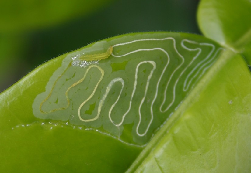 Leaf miner is any one of numerous species of insects in which the larval stage lives in, and eats, the leaf tissue of plants. Frequently, it appears as yellow, squiggly lines in the leaves.