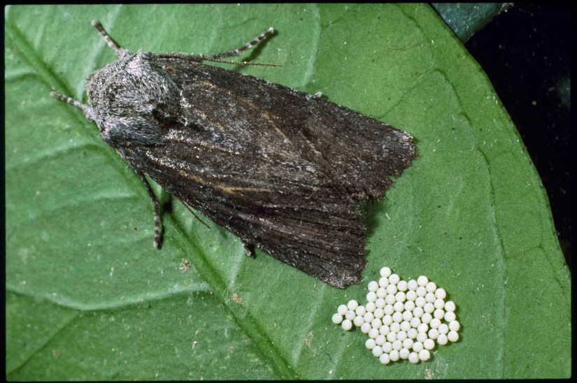 The larval forms of several species of moths, cutworms plague lawns and gardens from early spring through fall. Some cutworm species prefer vegetables, including cabbage, lettuces, peppers and carrots.
