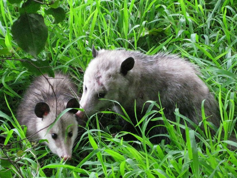 Possums are generally a net good for their native environment because they help to keep insect populations in check. They do occasionally destroy human gardens and farms, for which they may be considered as a pest.