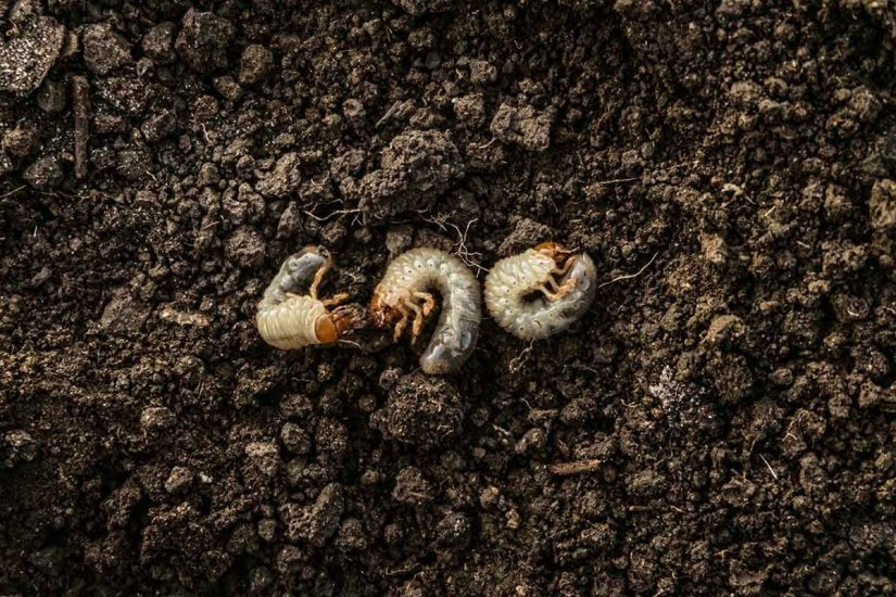 If you start to see the cutworm moth, do not hesitate to take precautionary action, such as cleaning the garden.