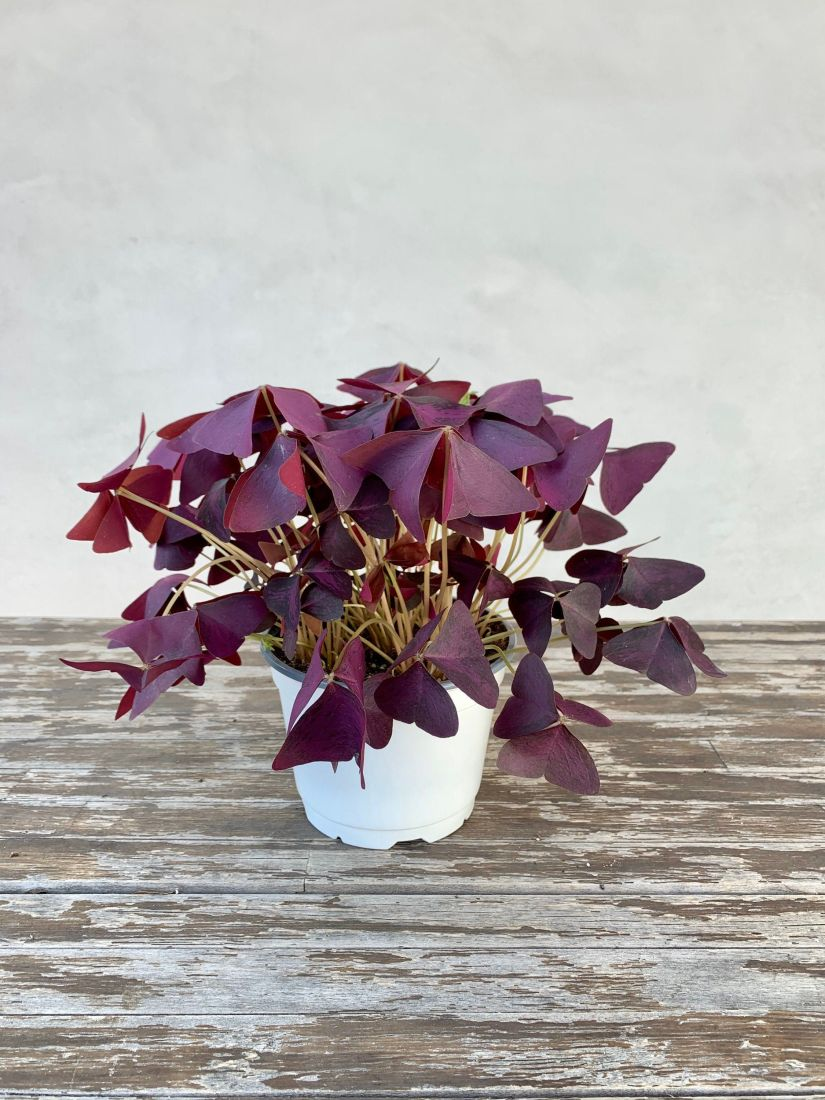 The purple shamrock can grow in a variety of soil types as long as it has good drainage. Its roots are prone to rotting if the soil retains too much moisture. A loamy or sandy soil is best. And for container growth, a general, well-draining potting mix should be fine.