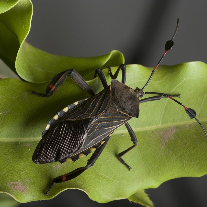 Chinch bugs are tiny bugs that can cause major damage to your lawn by sucking your grass blades dry and injecting them with poison.