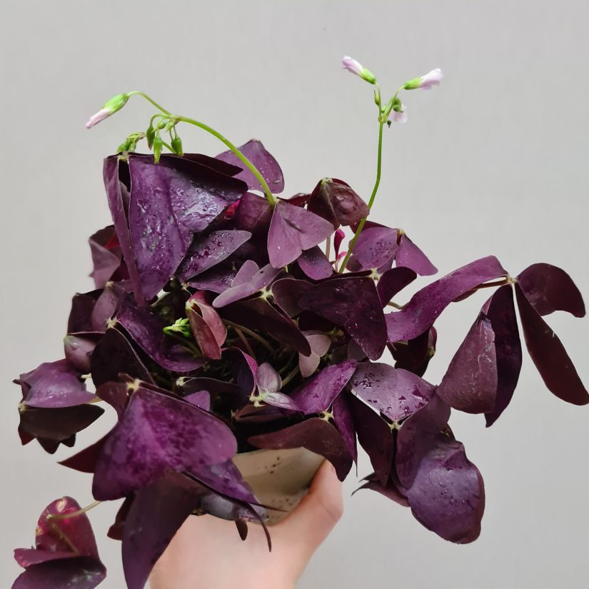 The only pruning you need is to pinch off dead stems when the plant declines or dies back. If you notice that the vibrant purple foliage starts to brown, wait until the leaves and stems dry out.