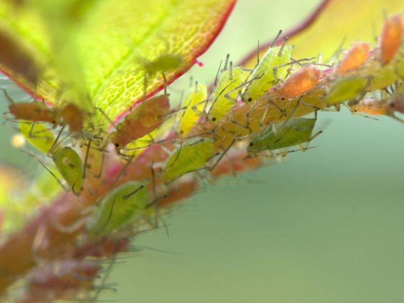 Root aphids are a big problem for succulent plants and root crops. These pests invade the roots of plants and deplete their root systems by sucking the juice from the roots.