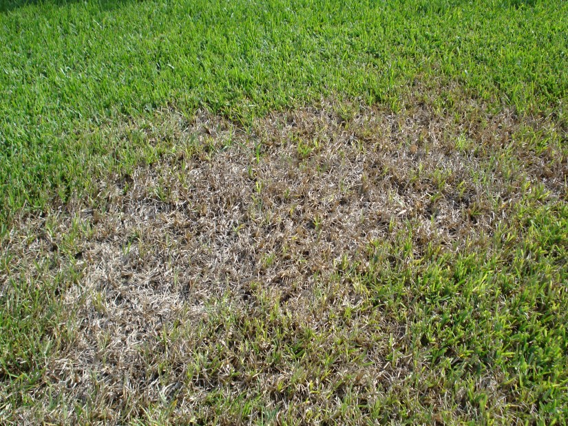 Finally to help repair your lawn, you should then proceed to reseed the damaged area. This important because not all the damaged grass will fix itself and regrow, that is impossible, also this will make the existing grass thicker, stronger and healthier.