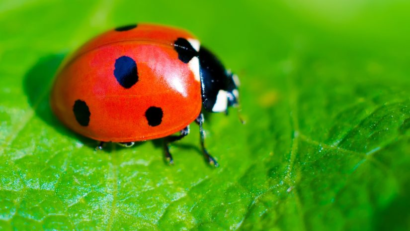 The beneficial species of ladybugs kill aphids, chinch bugs, asparagus beetle larvae, alfalfa weevils, bean thrips, grape root worm, Colorado potato beetles larvae, spider mites, whiteflies, mealybugs, among other insects.
