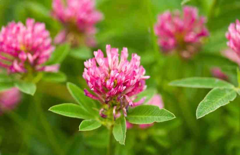 No serious side effects have been reported in people taking red clover for up to 1 year. General side effects may include headache, nausea, and rash. However, animals that graze on large amounts of red clover have become infertile.