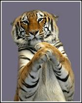 big-cat-habitat-gulf-coast-sanctuary-tiger-playing