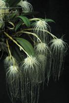 selby-gardens-orchid-bulbophyllum-medusae