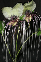 selby-gardens-tacc-tacca-integrifolia-nivea