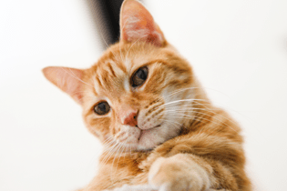 cat-depot-orange-cat