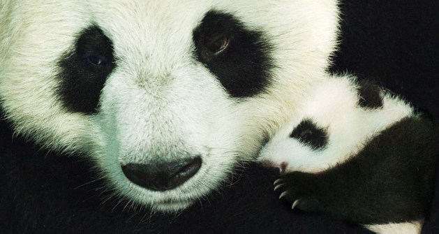 Born in China Disneynature Pandas