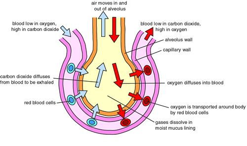 human cell wall diagram labeled honda lawn mower engine igcse biology section 4- respiration and gas exchange - revision cards in