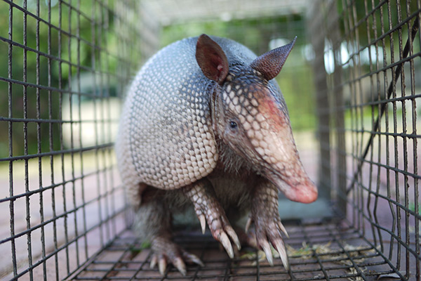 Dog Mouth Diagram Are Armadillos Dangerous To Cats Dogs Or Other Pets