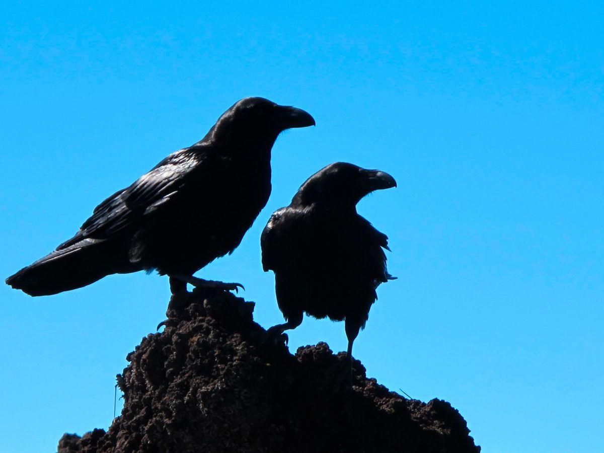 How to Get Rid of Crows | GetRidofThings.com