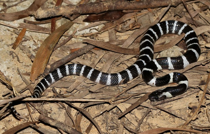 MANY-BANDED KRAIT OR CHINESE KRAIT