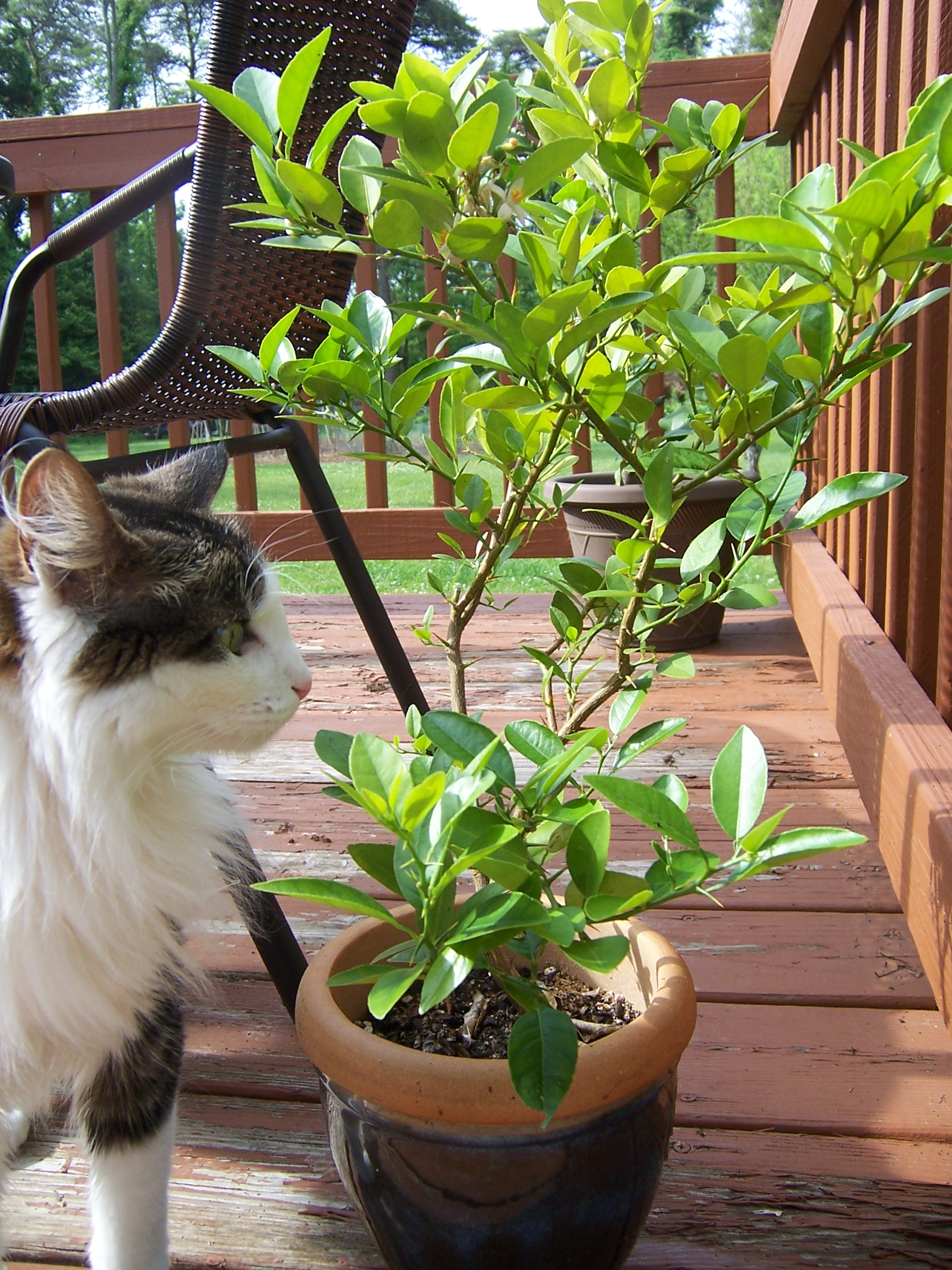 caring for potted citrus trees gettin