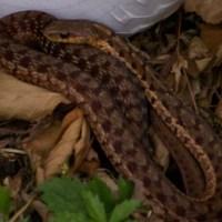 Maritime Garter Snake