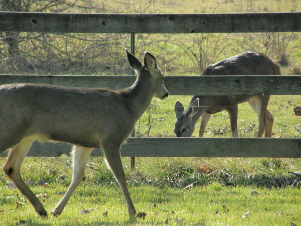 deer-in-the-back-yard