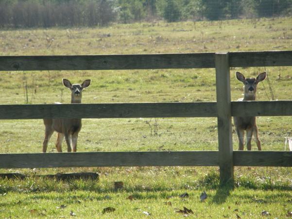 lil-deer