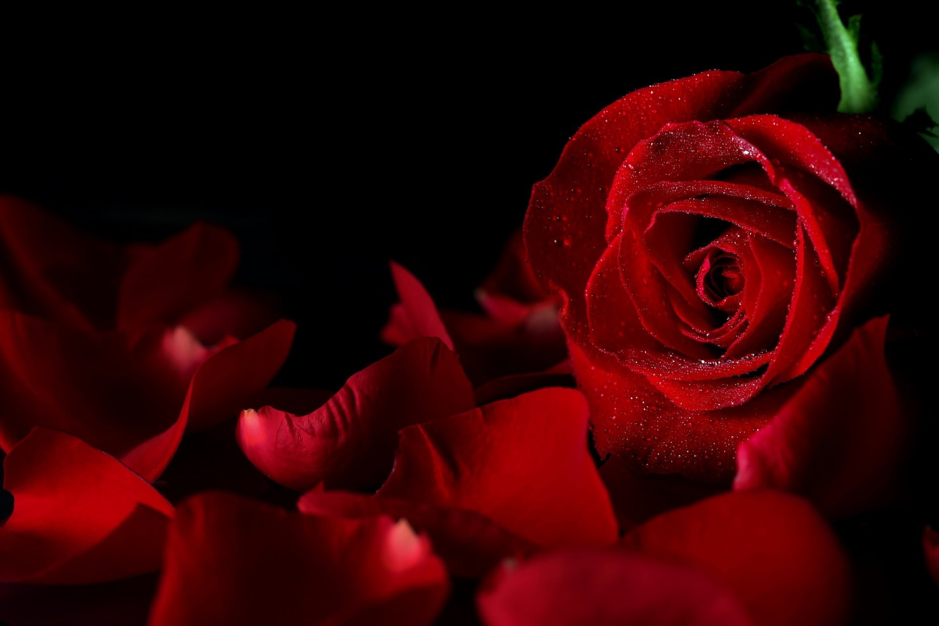 black roses background 49