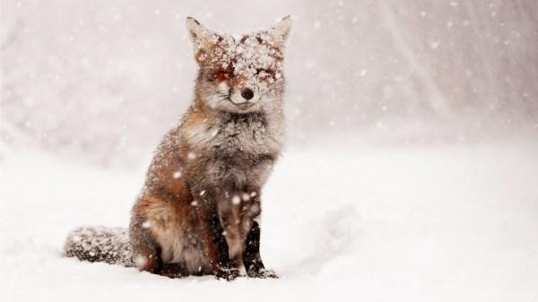Cute Snow Foxes