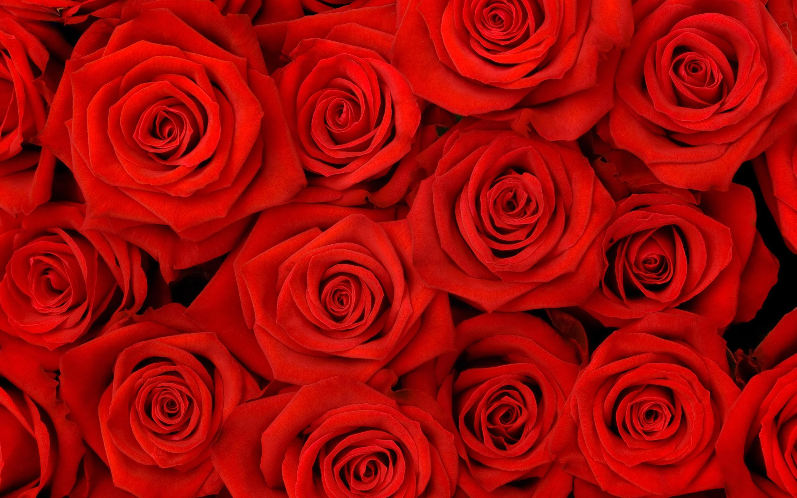 red roses background 36