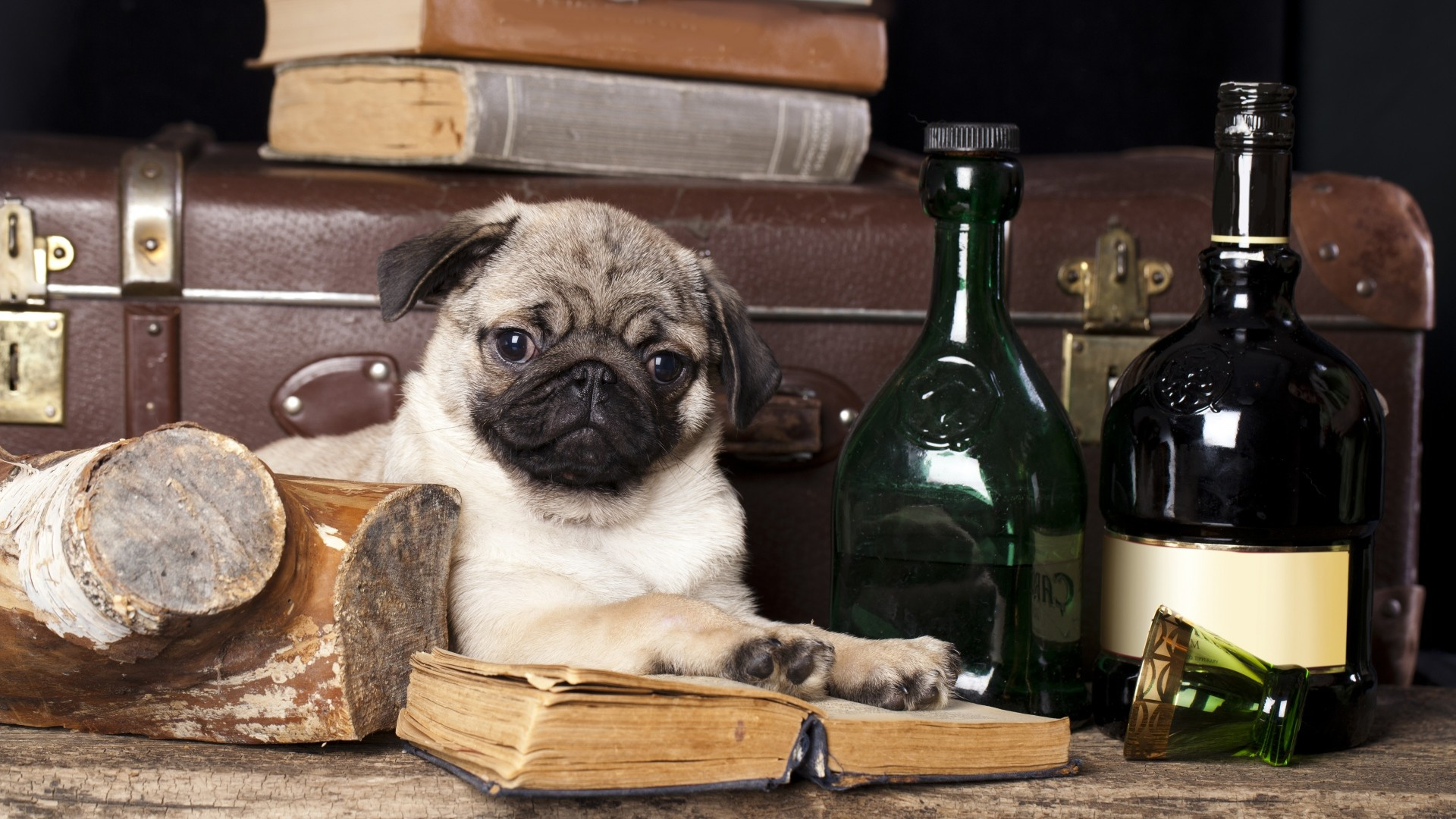 Fall Pug Wallpaper Funny Pug Pictures Wallpaper 75 Images